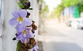 Thunbergia grandiflora flowers side the road