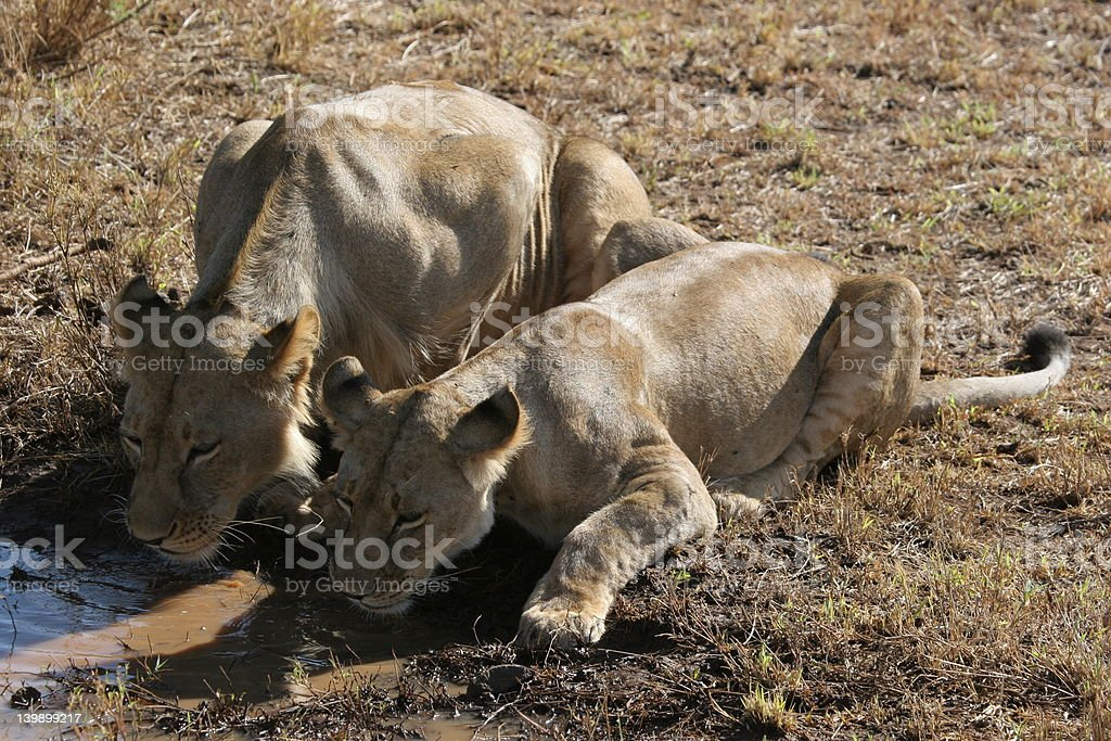 Thursty Lions stock photo