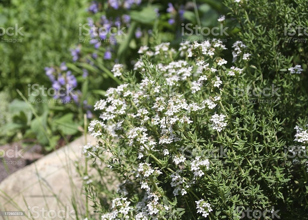 Thyme blooms royalty-free stock photo