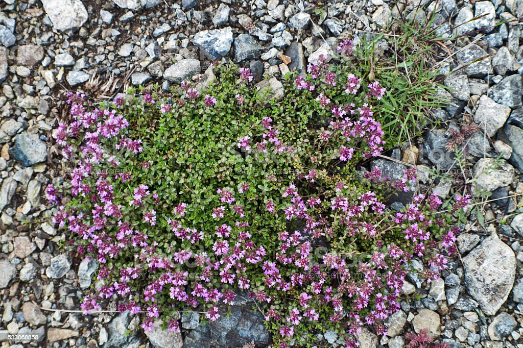 Thyme bush on the stony ground stock photo