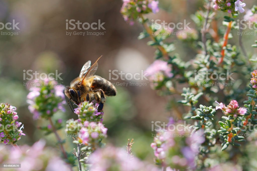 Thyme flower and bee stock photo