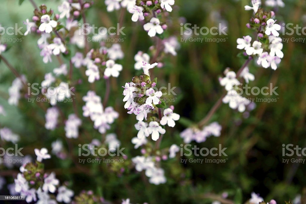 Thyme Flowers royalty-free stock photo