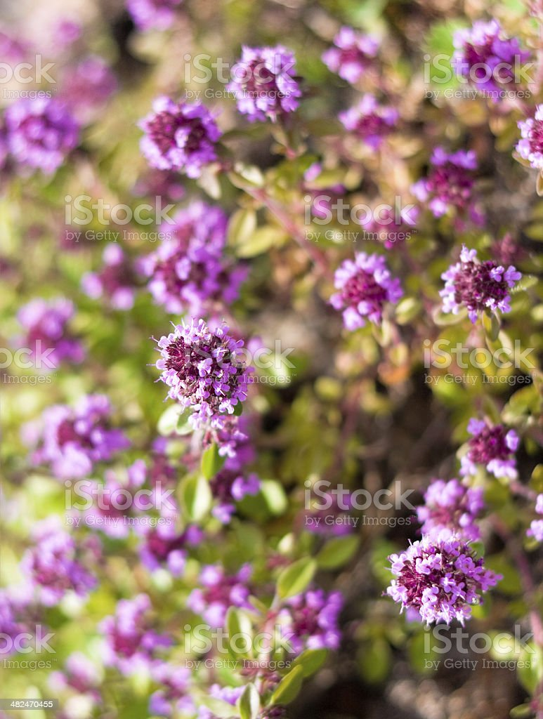 Thyme flowers - Thymus sp royalty-free stock photo