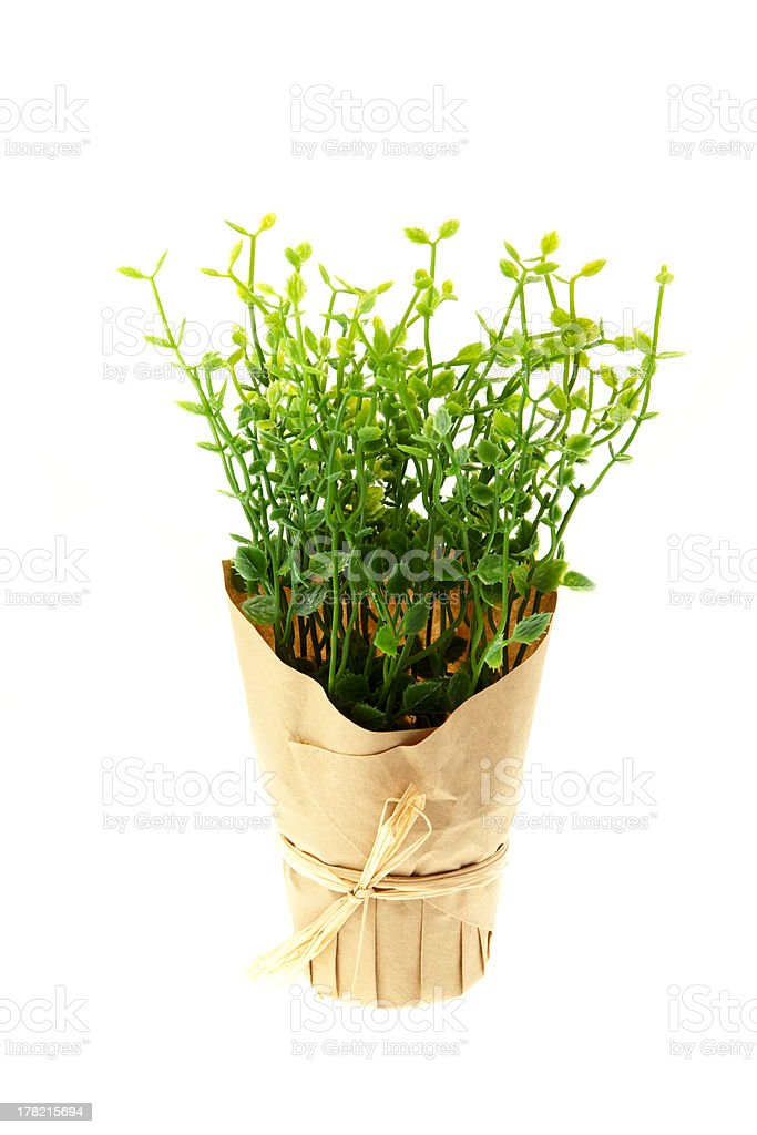 Thyme Growing in Pot royalty-free stock photo