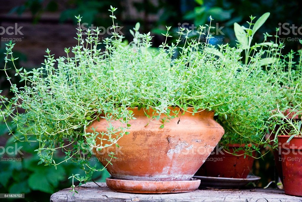 Thyme herb in terracotta pot stock photo