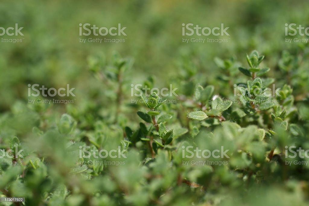 Thyme Herb stock photo