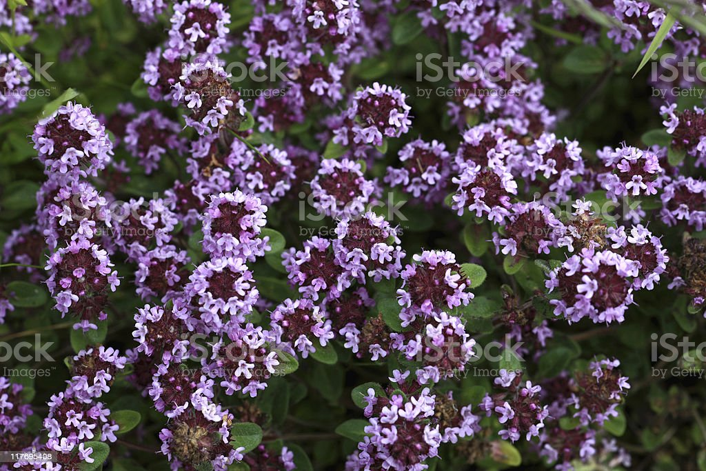 Thyme in blossom stock photo