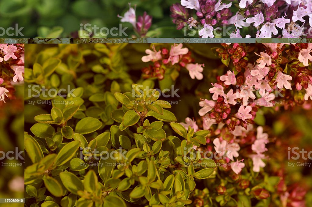 Thyme in Flower royalty-free stock photo