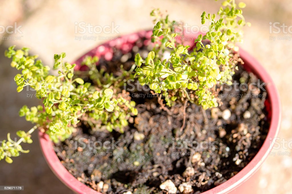 thyme in pot stock photo