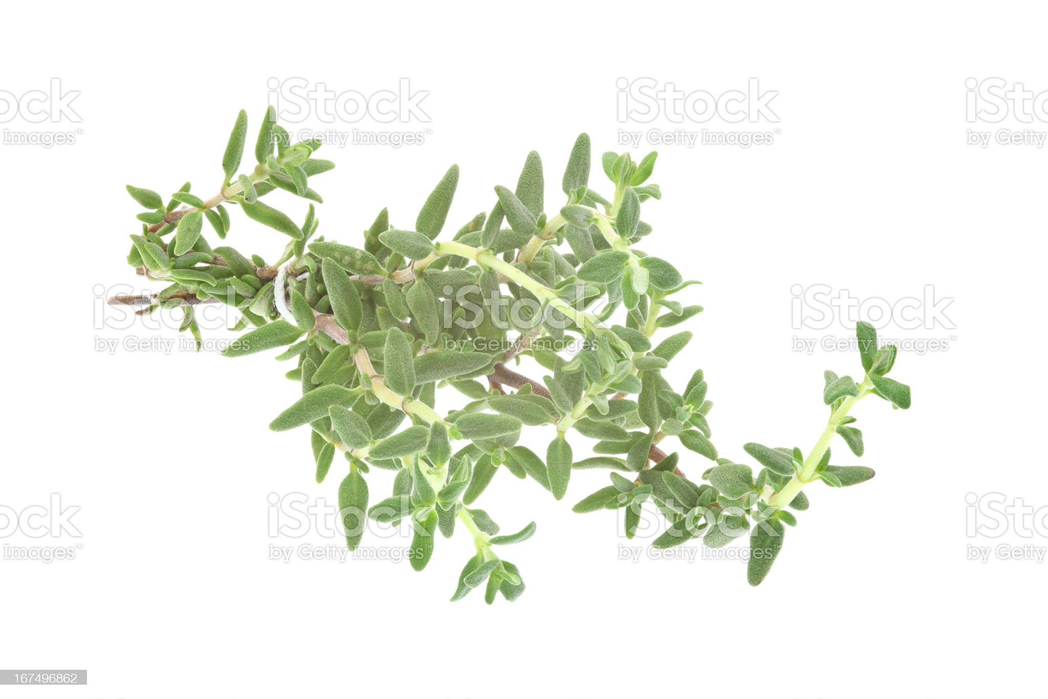 thyme (thymus)  isolated on white royalty-free stock photo
