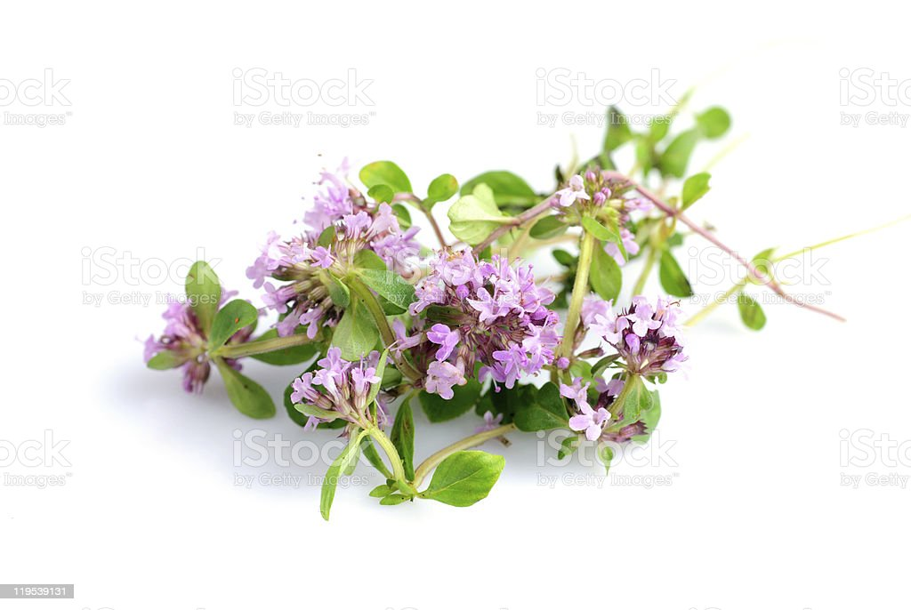 thyme isolated stock photo