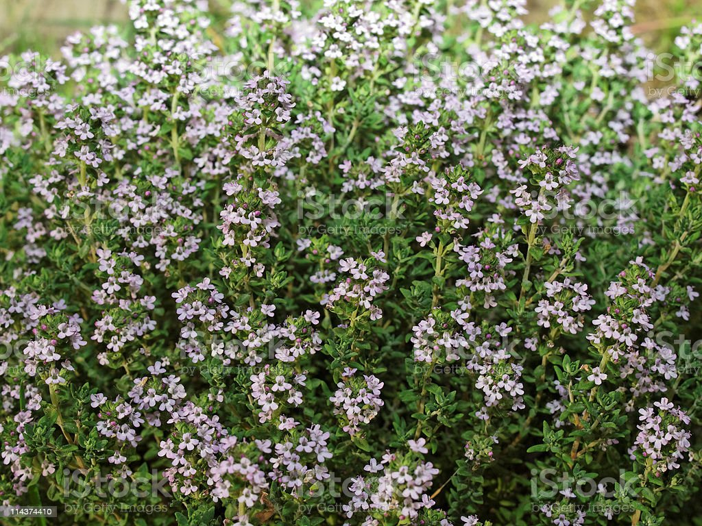 Thyme. stock photo