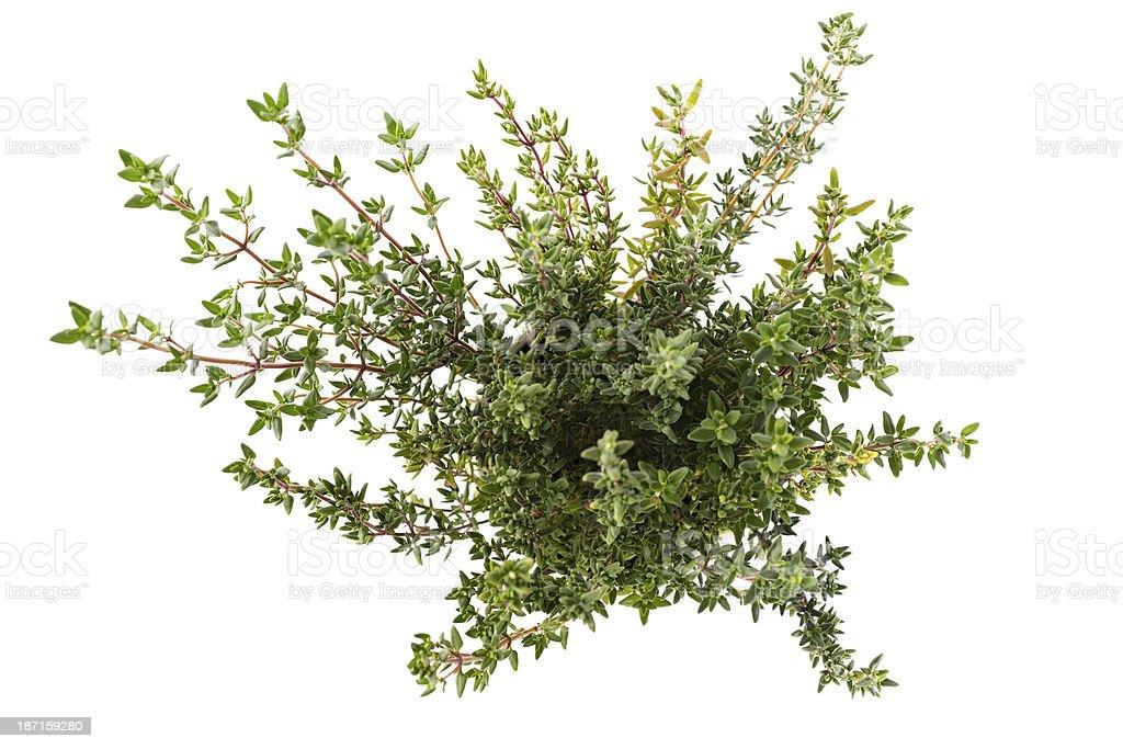 thyme royalty-free stock photo