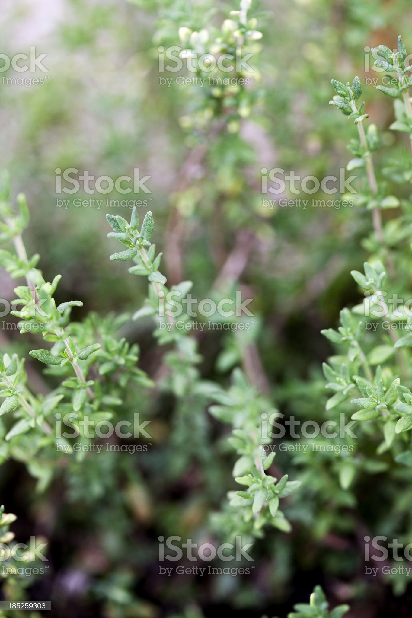 Thyme Plant Close-Up royalty-free stock photo