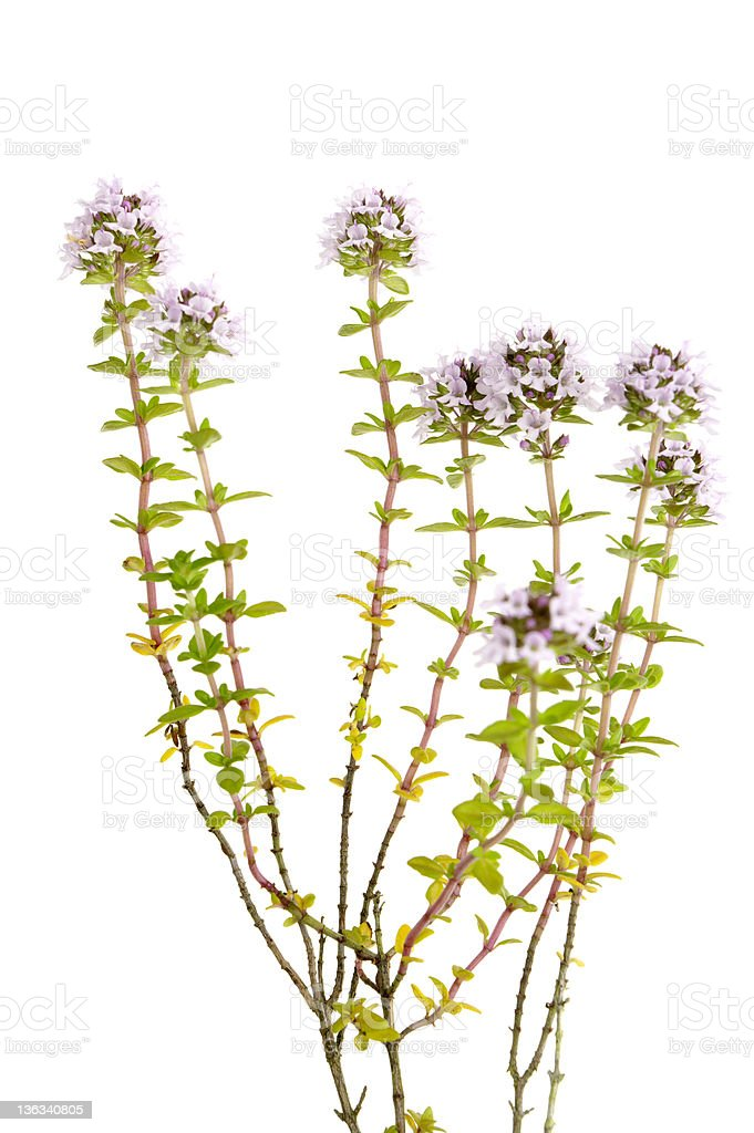 Thyme Plant Isolated On White royalty-free stock photo