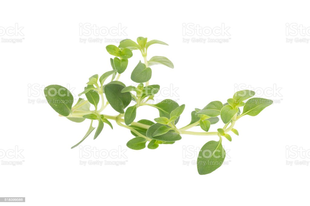 thyme plant on white background stock photo