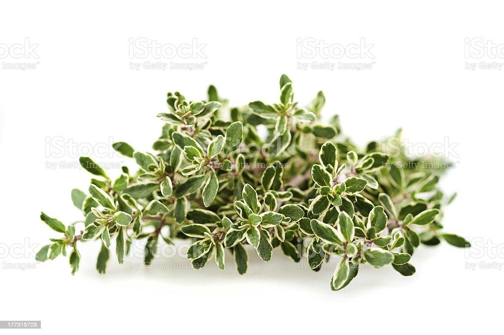 Thymus citriodorus stock photo