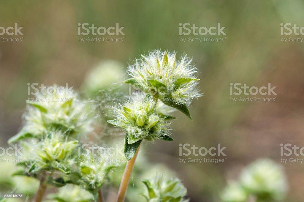 Thymus mastichina stock photo