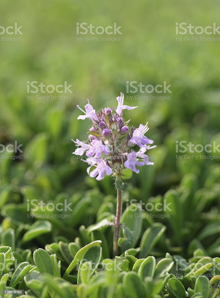 Thymus On Sun royalty-free stock photo