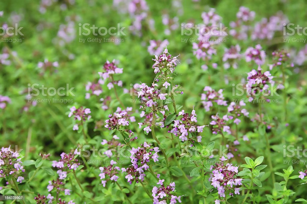 Thymus royalty-free stock photo