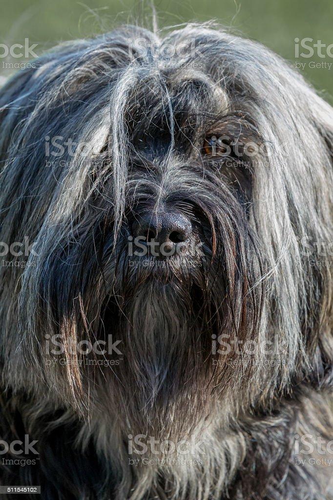 Tibet Terrier Portrait front stock photo