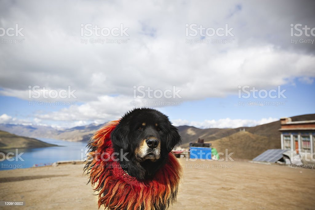 tibet: tibetan mastiff royalty-free stock photo