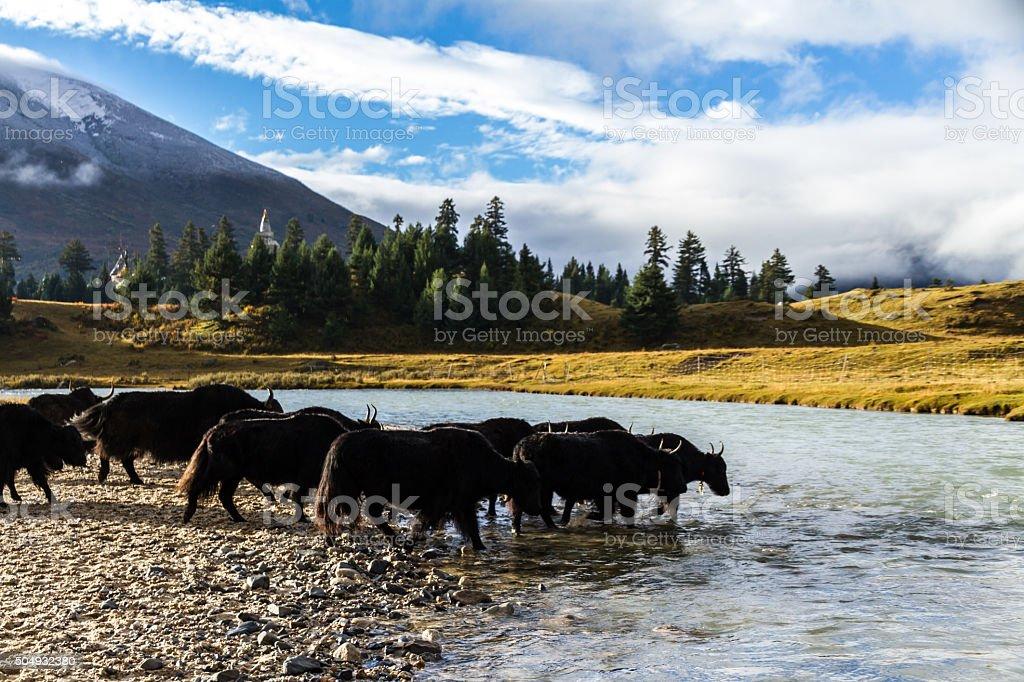 Tibet yaks in China stock photo