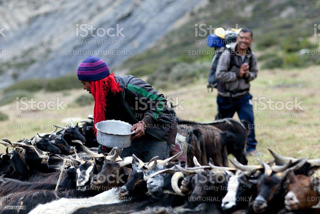 Tibetan drover milking a goat stock photo