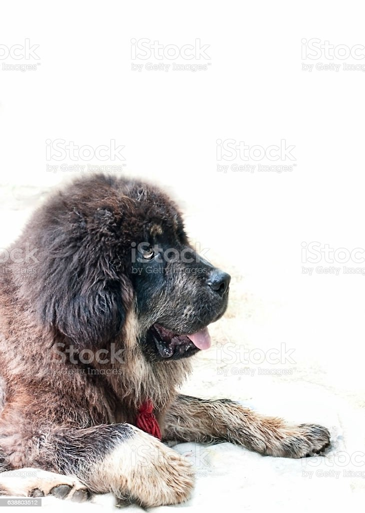 Tibetan mastiff breed puppy on white background close-up look- stock photo
