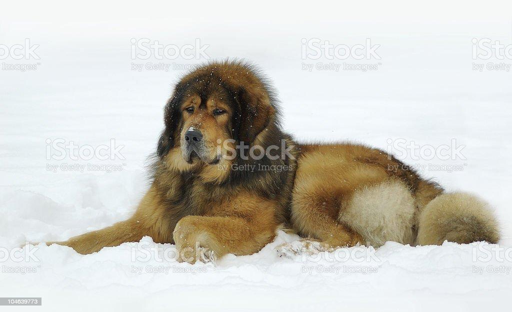 Tibetan mastiff lying on the snow stock photo