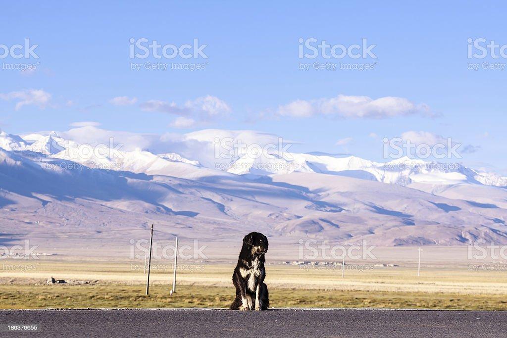 Tibetan mastiff royalty-free stock photo