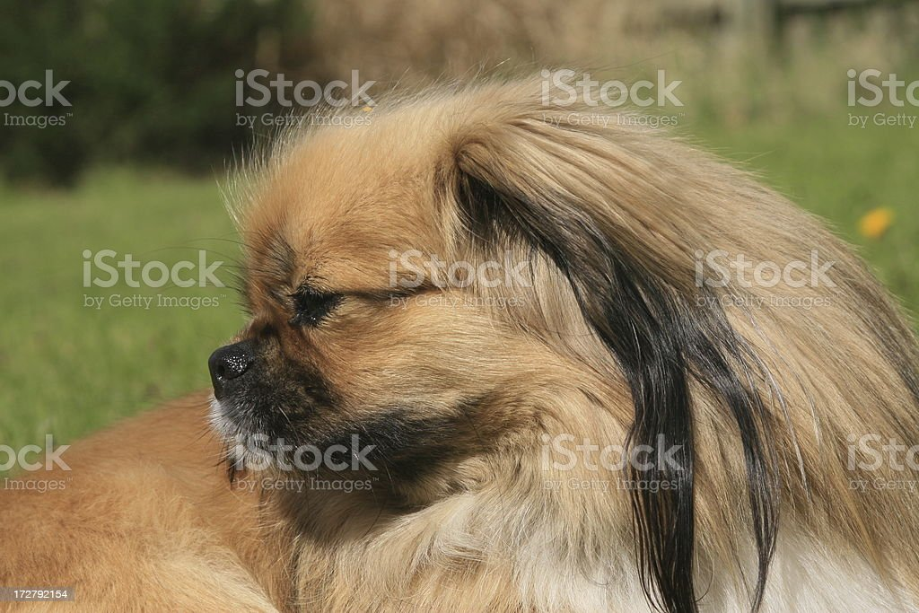Tibetan Spaniel royalty-free stock photo
