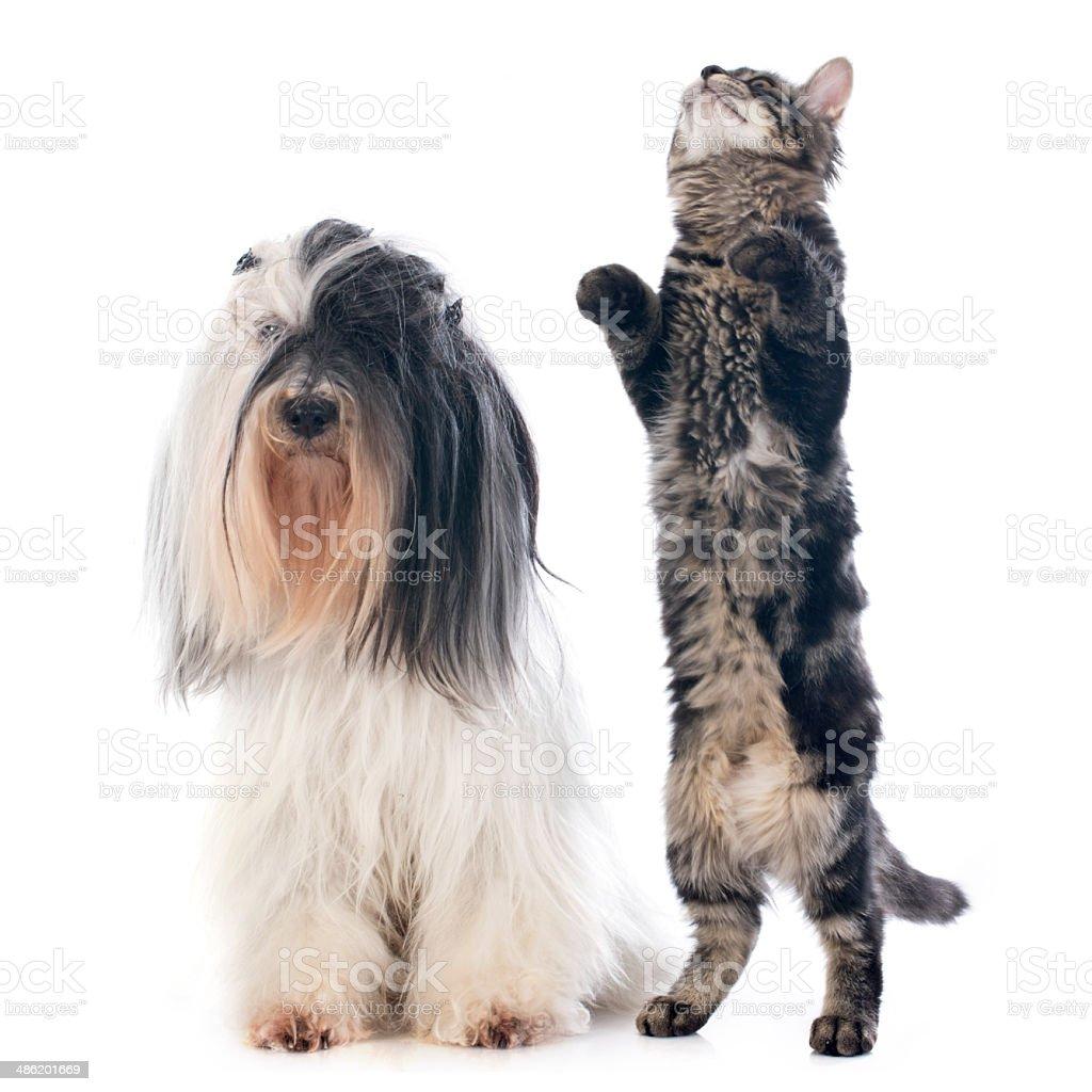 tibetan terrier and cat stock photo