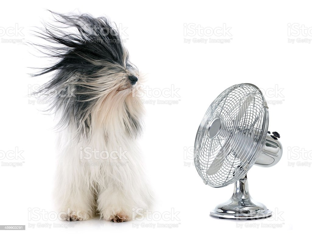 tibetan terrier and fan stock photo
