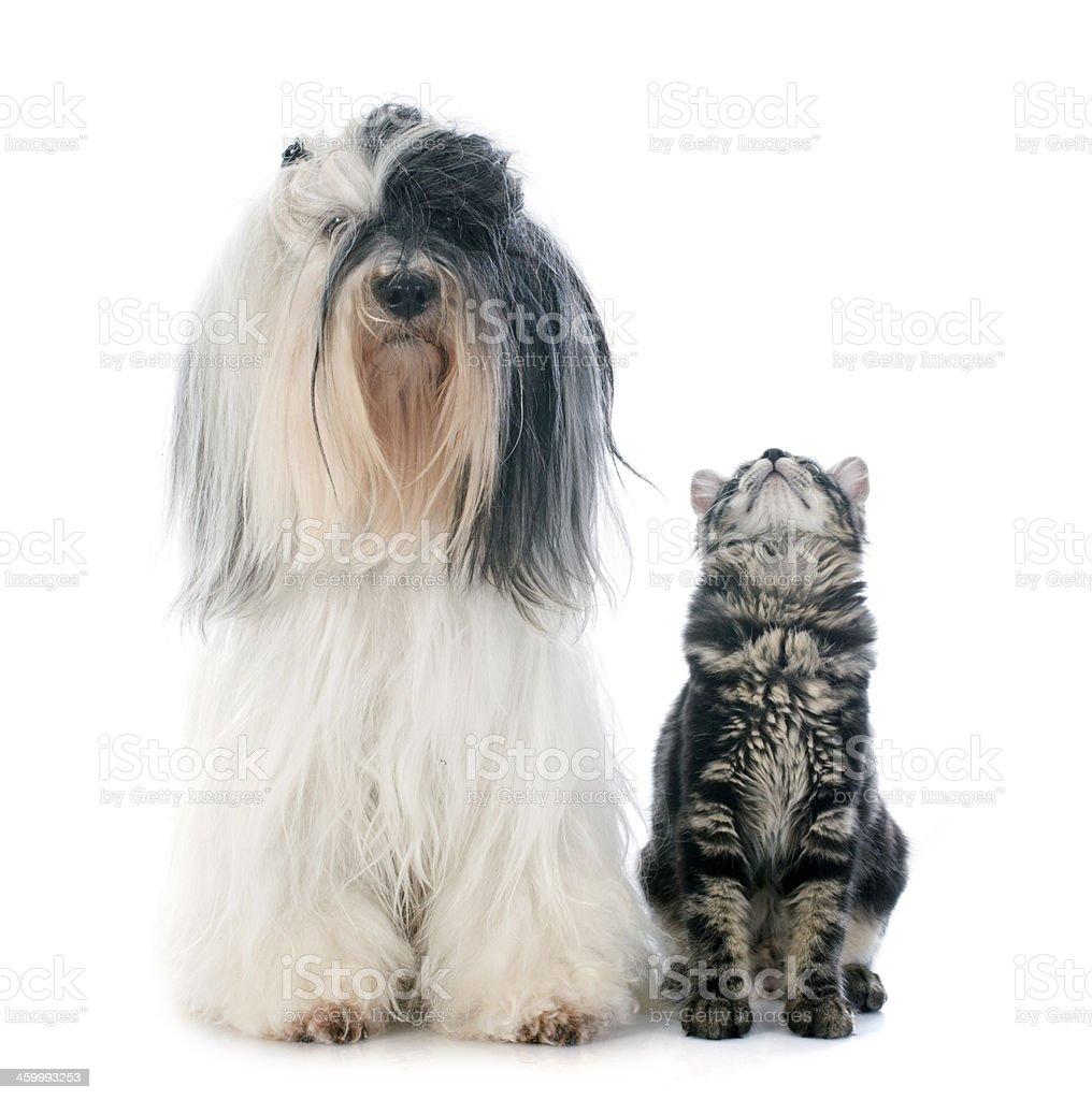 tibetan terrier and kitten stock photo