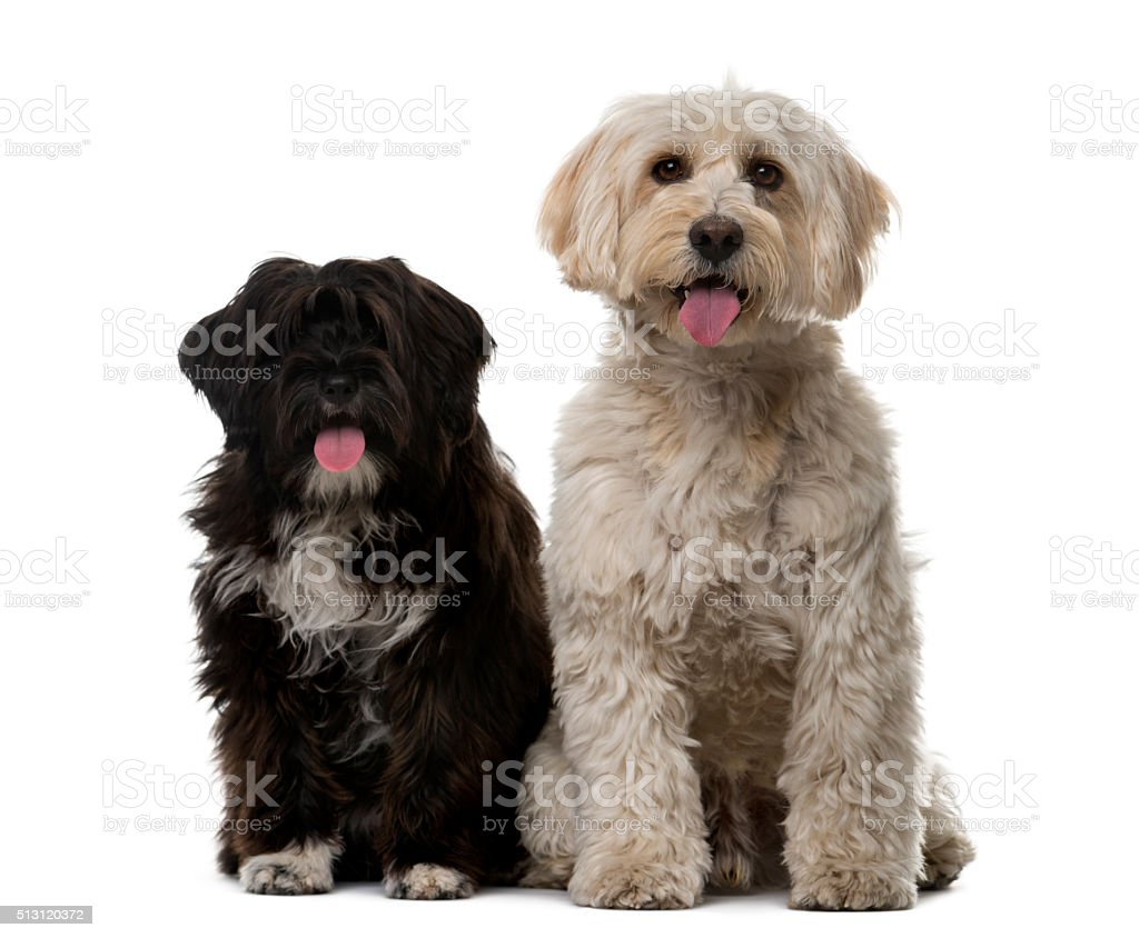 Tibetan Terrier and puppy in front of a white background stock photo