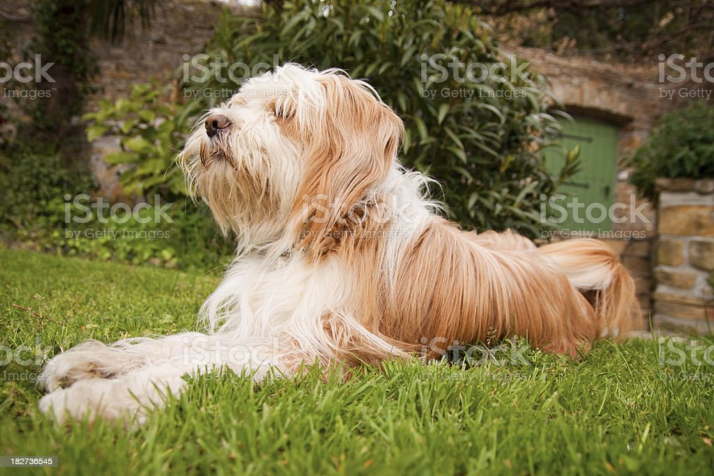 Tibetan terrier at close up lying in the backyard stock photo