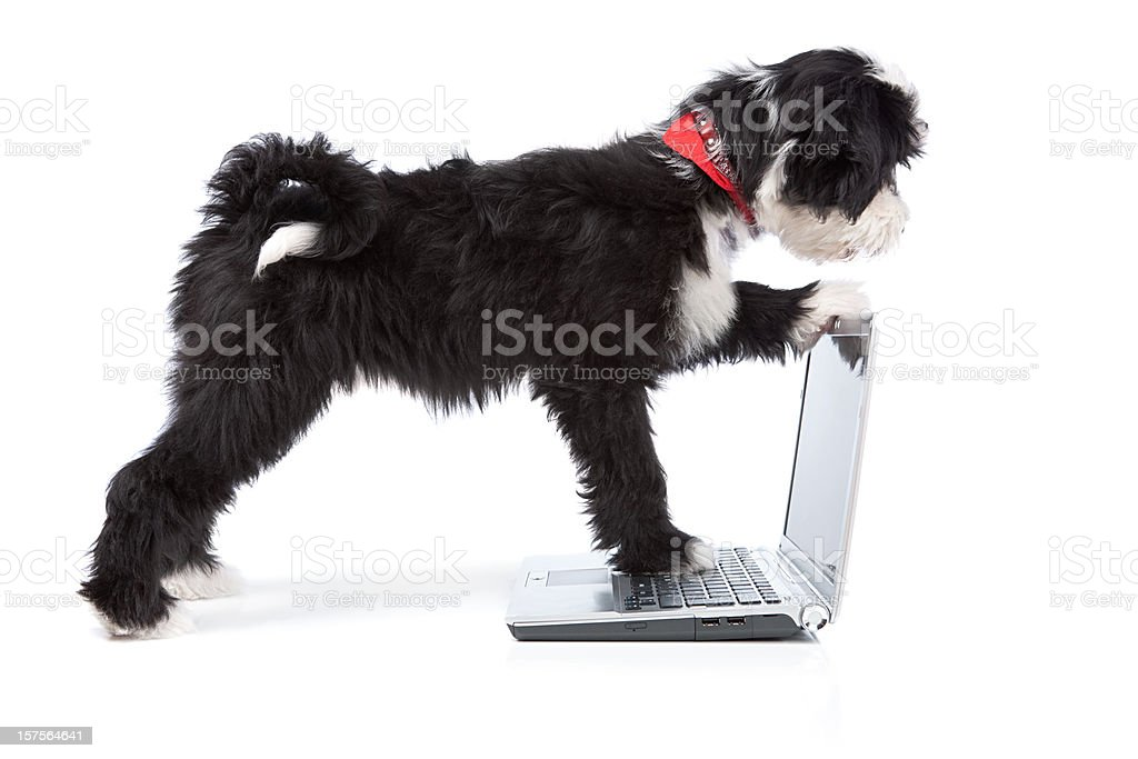 Tibetan terrier dog checking what is behind the laptop screen royalty-free stock photo