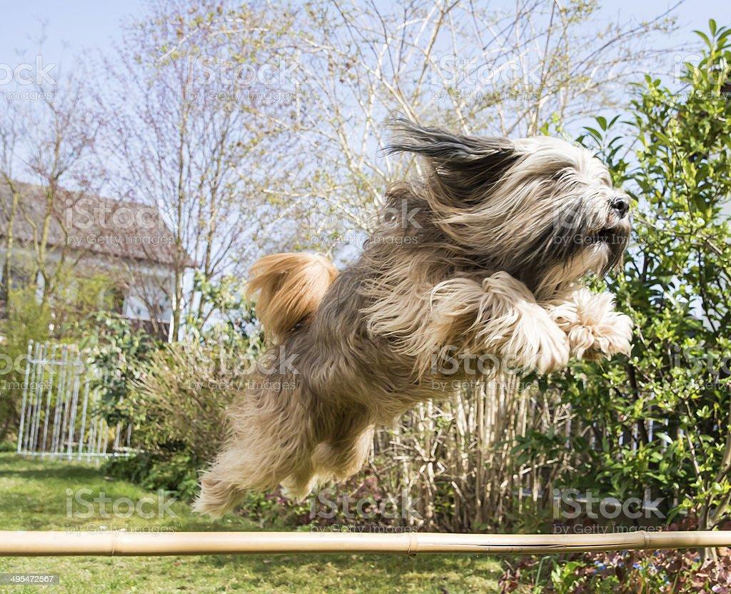 Tibetan Terrier Dog in Action stock photo