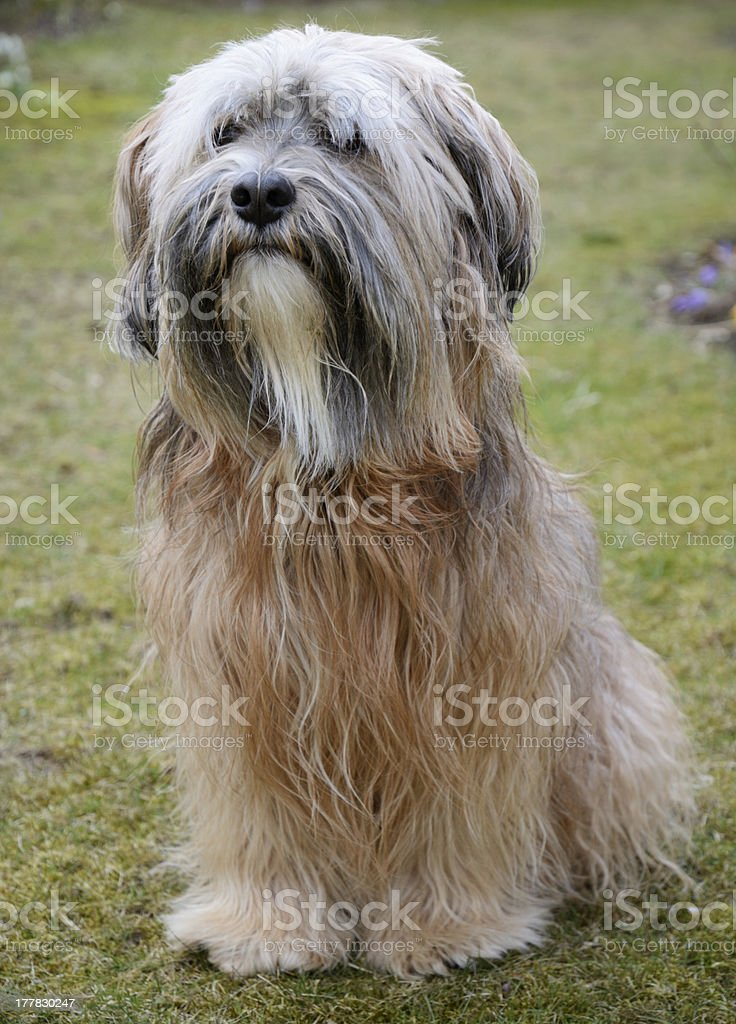 Tibetan Terrier Dog royalty-free stock photo