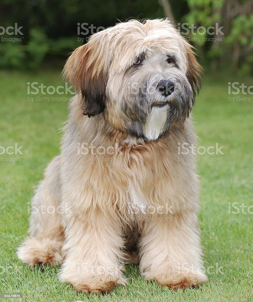 Tibetan terrier dog stock photo
