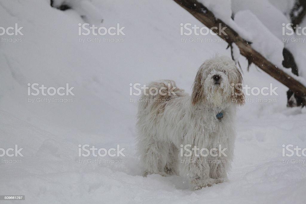 tibetan terrier in the snow stock photo