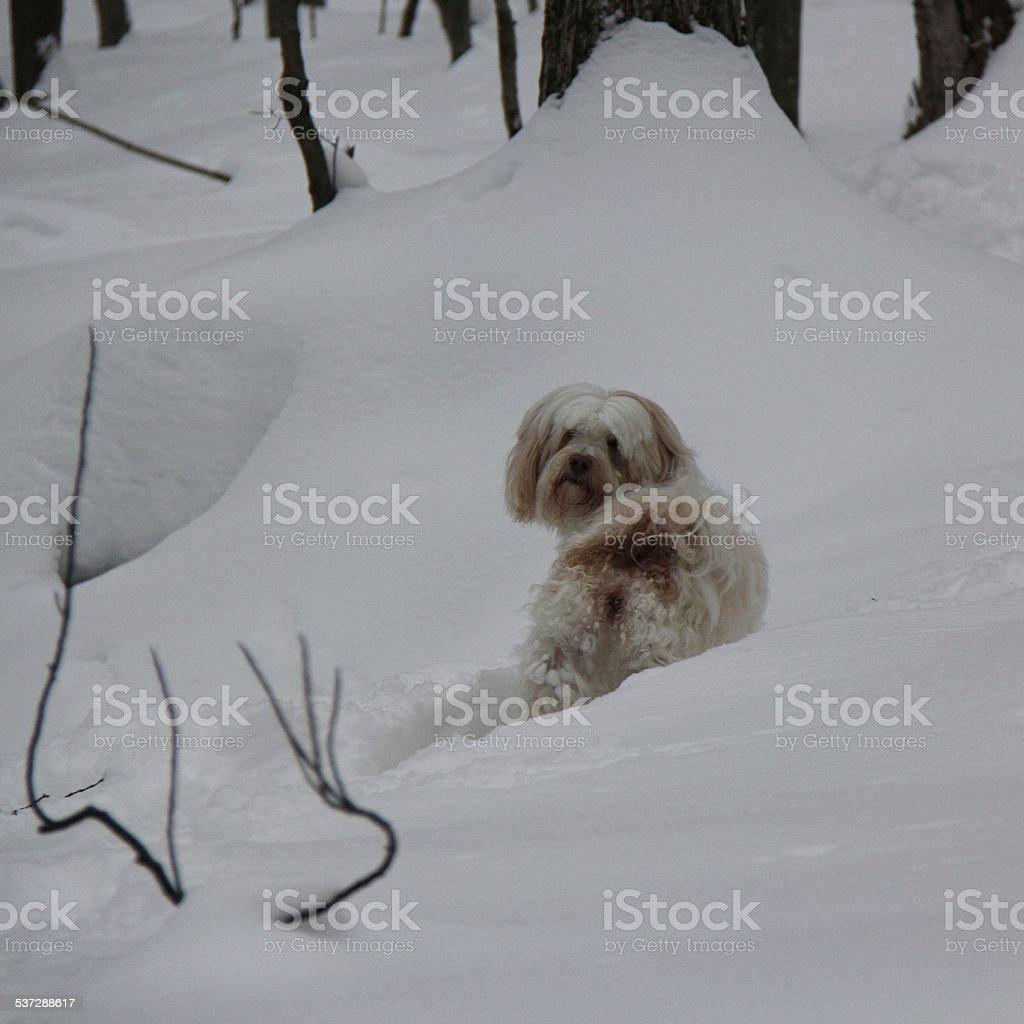 Tibetan Terrier looking over her shoulder stock photo