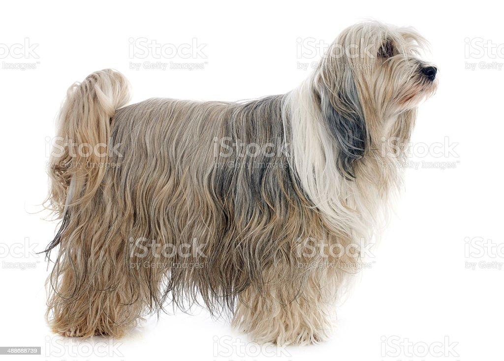 Tibetan terrier stock photo