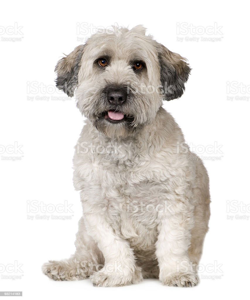 Tibetan Terrier (5 years) stock photo