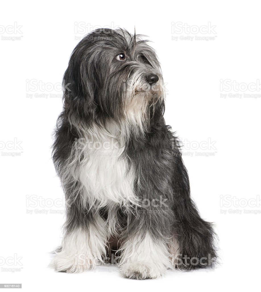 Tibetan Terrier (7 years) royalty-free stock photo