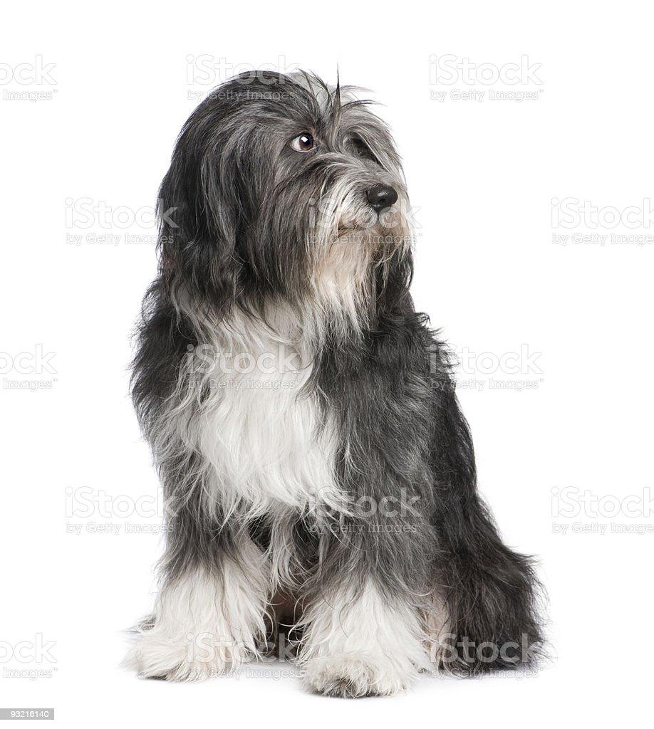 Tibetan Terrier (7 years) stock photo