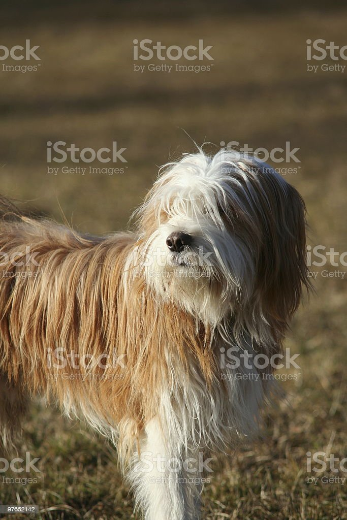 Tibetan terrier staring to the left stock photo