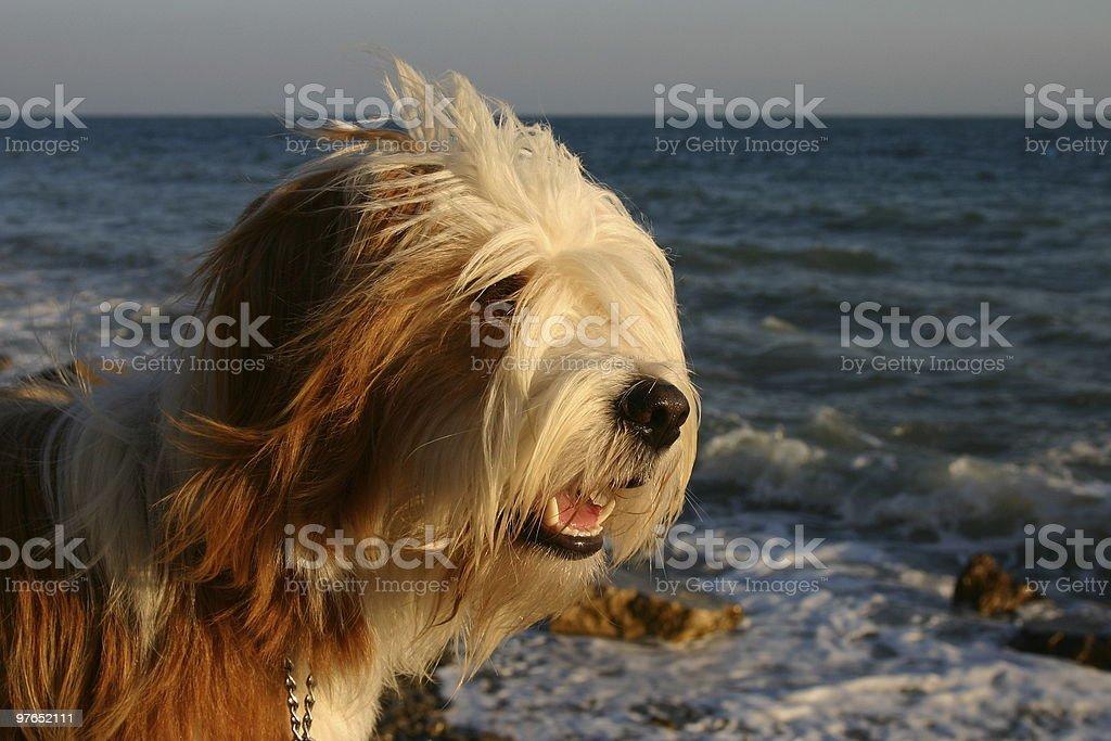 Tibetan terrier vacation stock photo