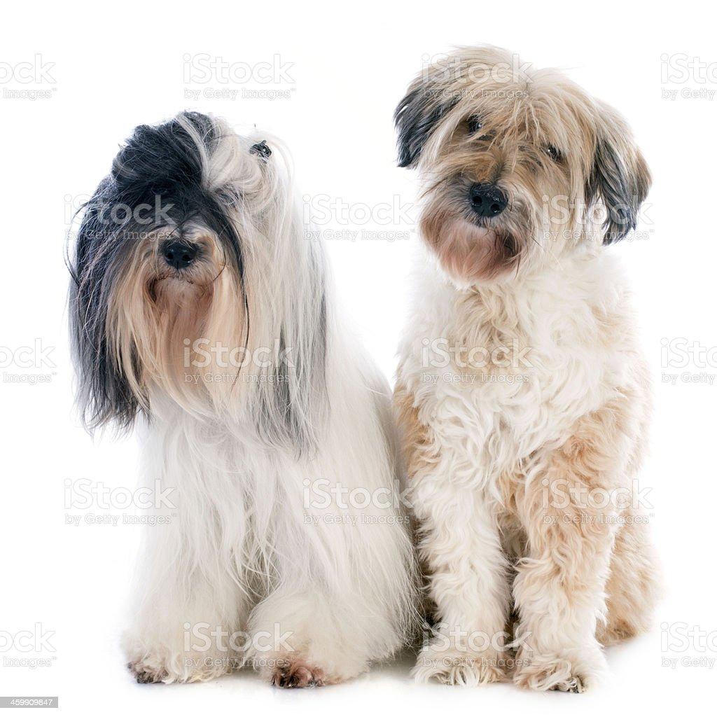 tibetan terriers stock photo